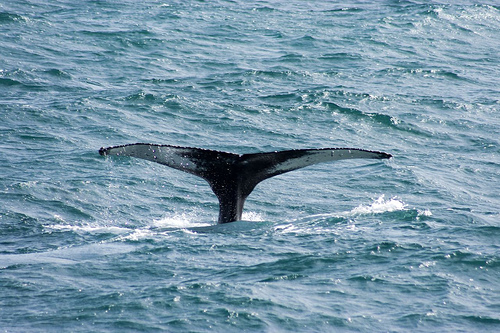 Icelandic whalers take Canadian route to Japan