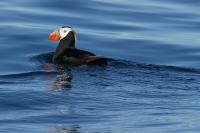 The wrong sort of puffin
