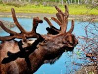 a normal moose
