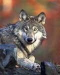 Swedish Wolf