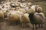 icelandic_sheep74