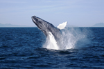Whale watching season in Iceland to begin