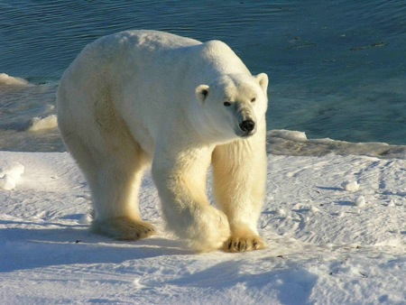 A wandering polar bear shot dead in Iceland