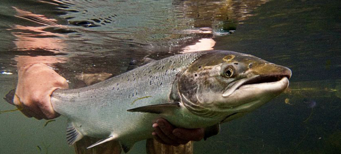 North Atlantic Wild Salmon in Danger