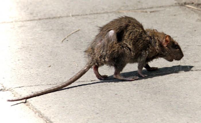 Sweden: Gigantic rat found in Solna apartment