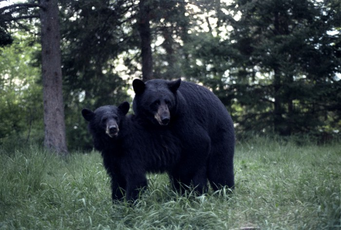 Pensioner survives bear attack