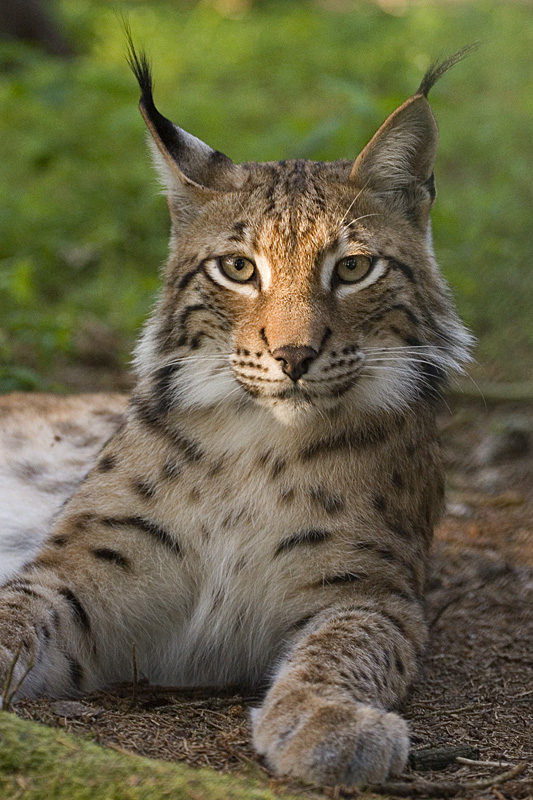 Lynx escapes Swedish zoo and attacks dog