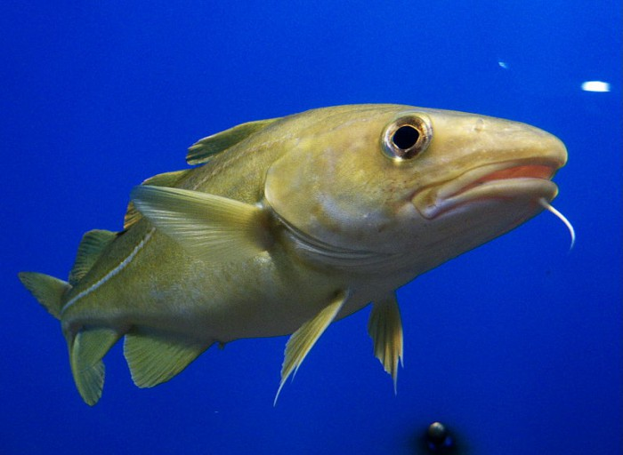 Icelandic exporting more cod to Spain than anywhere else