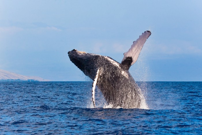 'Whappy' whale app launches in Iceland