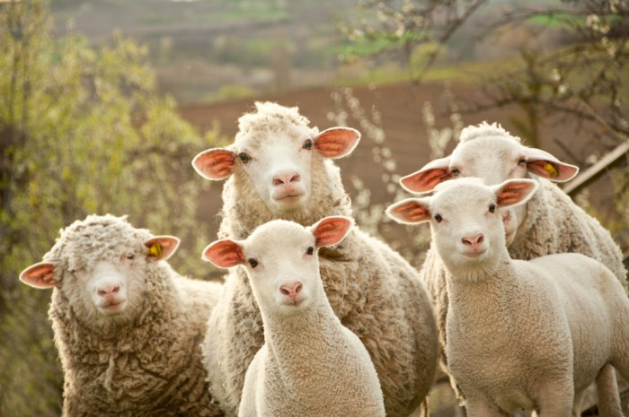 Iceland submits Rams for Oscars award