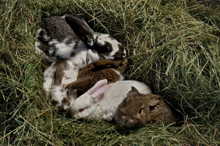 Rabbit farming in Iceland, a Novelty