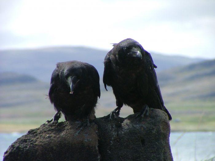 Ravens, Icelandic mythology and folklore
