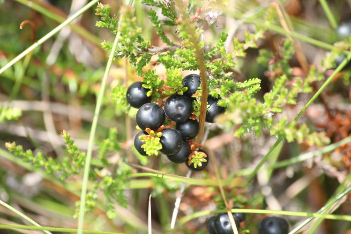 Crowberries and blueberries early on the table this year