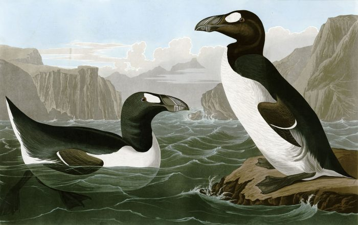 The extinct great auk to return to Atlantic shores