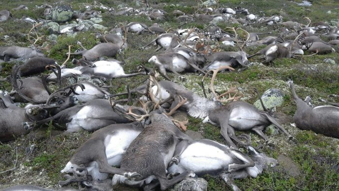 Hundreds of reindeer killed by lightning in Norway