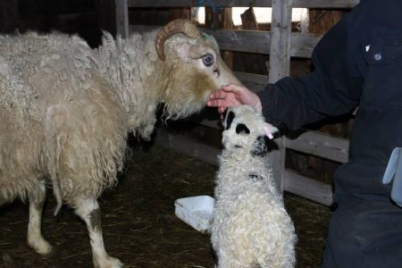 Heimalingur is an Icelandic term for a lamb that needs human intervention to survive. They are hand reared at the farm if all else fails. Farmers will try to get other ewes to nurse them and will try their best to assimilate the lamb to their flock, but sometimes that's impossible, and those sheep become attached to humans and unafraid.