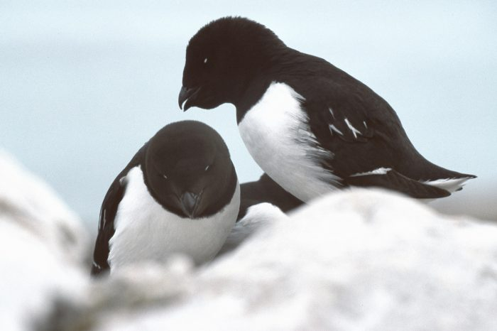 Seabirds starving to death around Iceland