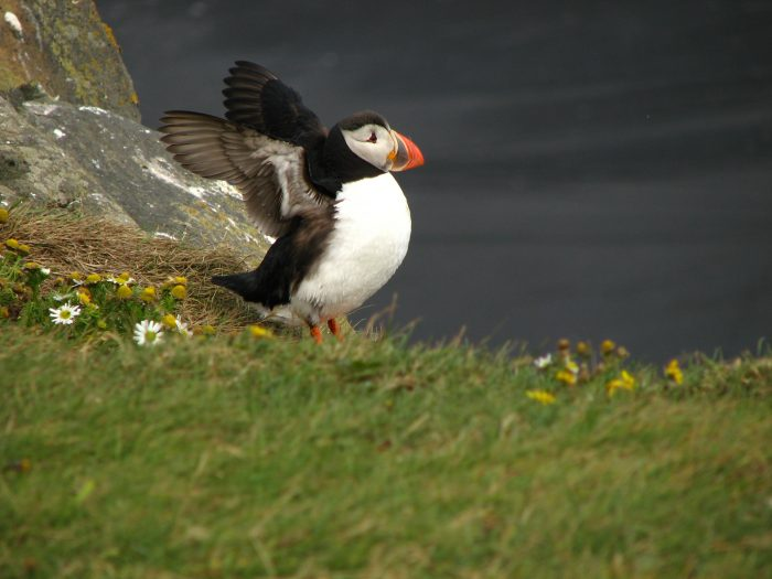 Puffins are arriving in the Westman Islands