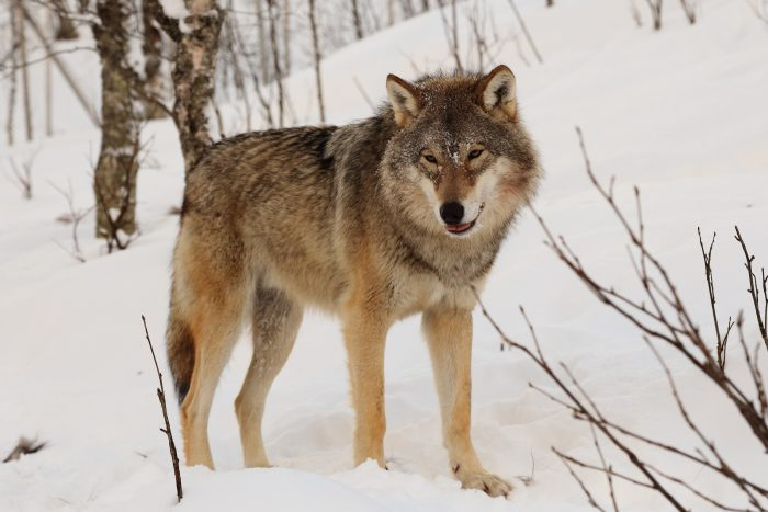 The return of the wolf in Scandinavia – Five wolfs observed in Denmark