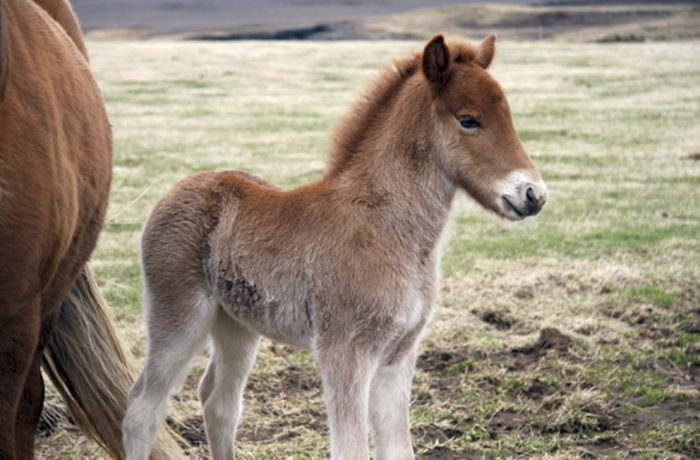 A boy and his foal – A friendship on an Icelandic farm (Video)