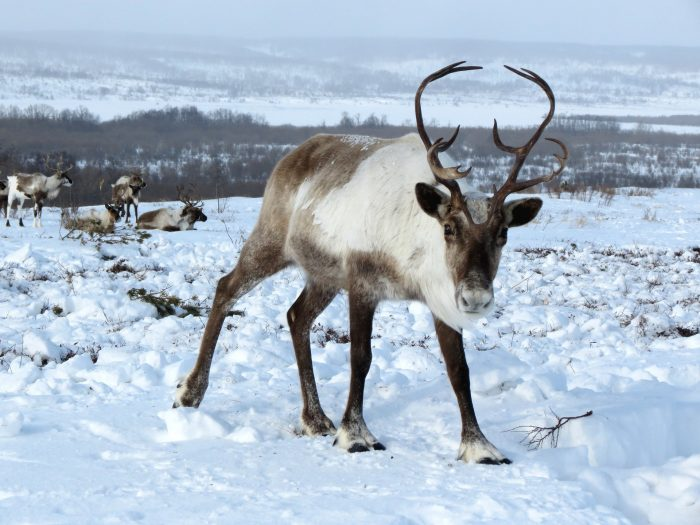 Reindeer on the road in East Iceland IceNews Daily News