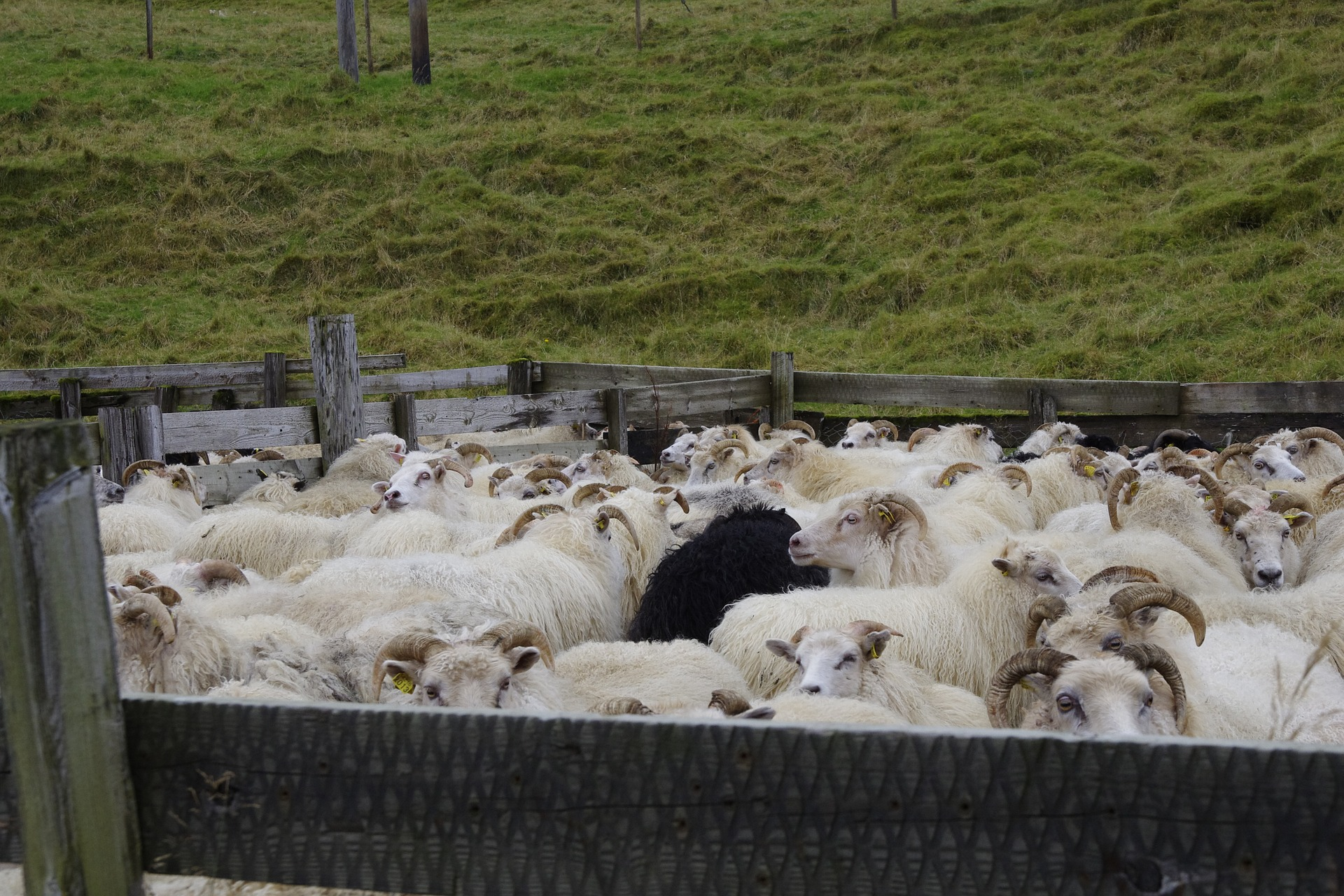Icelandic sheep, sheep,