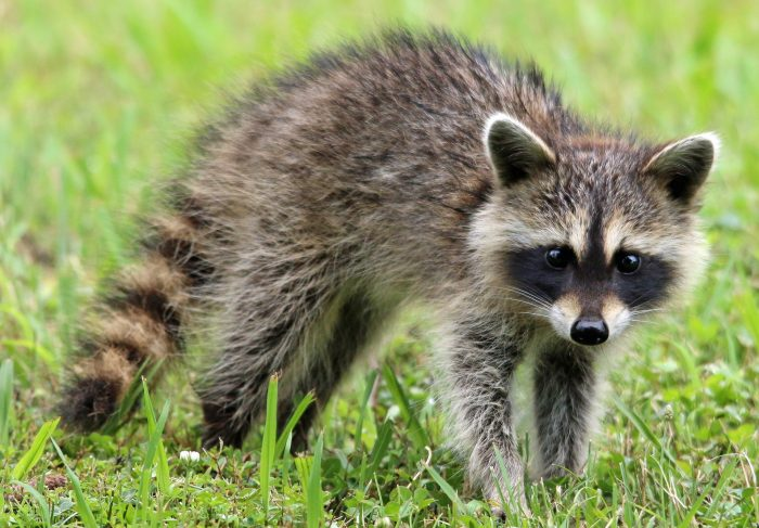 racoon found in iceland icenews daily news