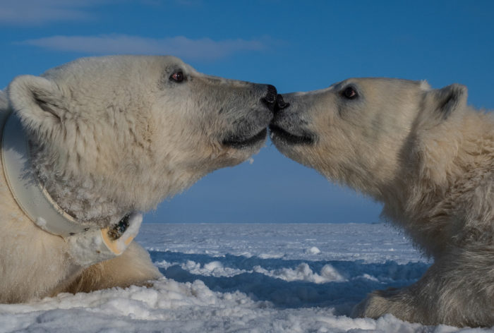 Polar bears can both swim further and dive deeper than previously thought