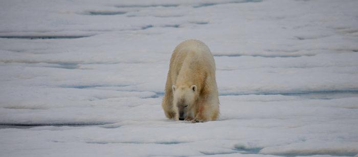 Man dies from polar bear attack in Svalbard