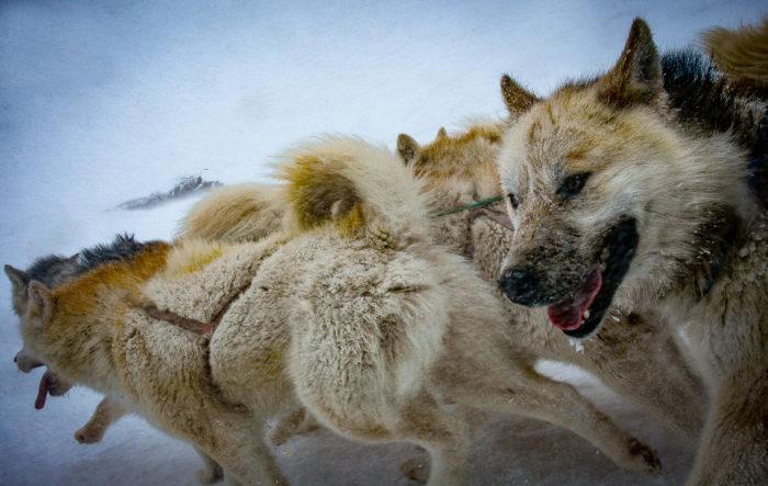 Did Alaska Really Deliver Presidential Votes By Dogsleds?