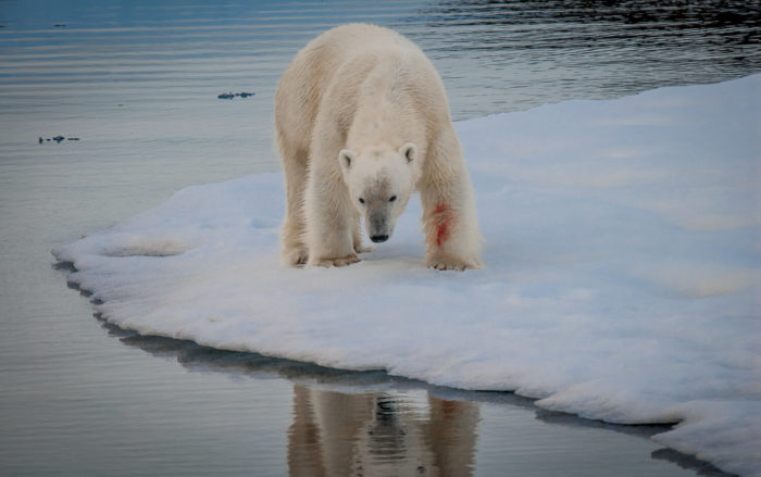 Kings Of The Arctic Need Their Hotspots Better Protected